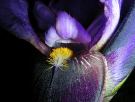 Purple and Yellow Iris by ticklemeimsexy