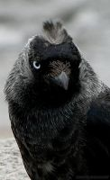 This Jackdaw has a style by siriablacky
