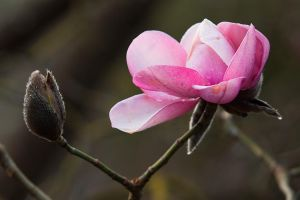 Magnolia and Bud by secondclaw