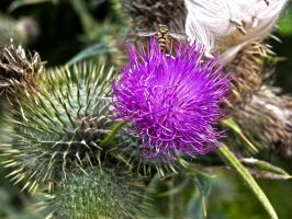 Scottish Thistle And Bee by SkellMan