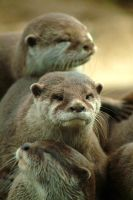 Romp of Otters by jay-light
