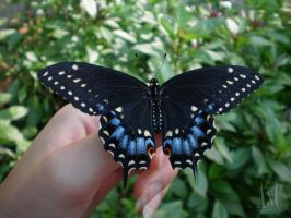 Black Swallowtail On My Hand by Pentacle5
