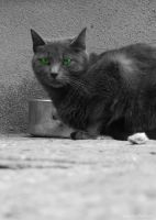Green eyes - cats of Italy - Positano by BMMSItaly