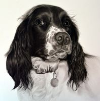 Commission - English Springer Spaniel 'Poppy' by Captured-In-Pencil
