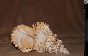 Giant Sea Shell 1 by DamselStock