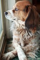 Dog Looking Out Window by RyBH