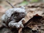 Gray Tree Frog by oOMommaTOo