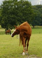 front chestnut horse shaking head by Nexu4