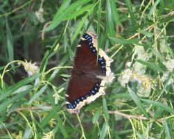 Mourning Cloak Butterfly 2a by Windthin