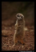 Baby Meerkat: Scout II by TVD-Photography