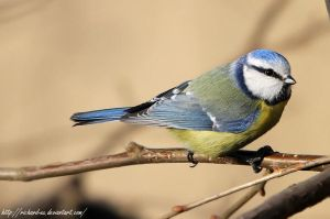 Parus caeruleus R by RichardConstantinoff