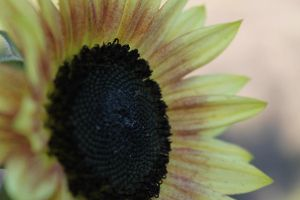 Sunflower... by Allenatia