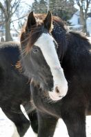 Clydesdale by cjraines