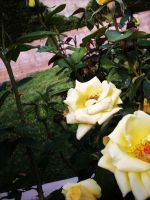 Yellow Roses by VirginiaRoundy