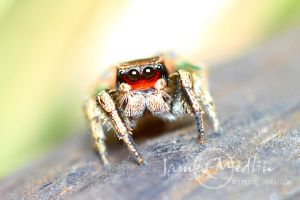 jumping spider 43 by JamesMedlin