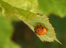 lady bug by Viand
