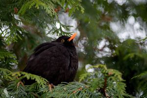 Close encounter with blackbird 3. by PhotoDragonBird