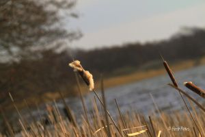 Schilf / Common Reed by bluesgrass