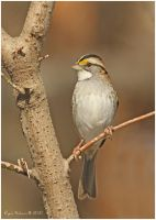 White-throated Sparrow by Ryser915