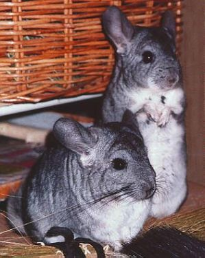 2 Chinchillas posing - Vchilla by chinchilla-madness