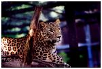 The Panther by Sulejman
