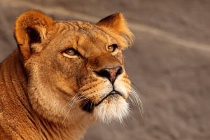 Proud Lioness by psychostange