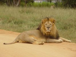 lazy lion by Livinus