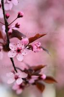 Cherry Blossom 1 by TheDevlyn
