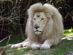 2014  White lion 7 by Lena-Panthera