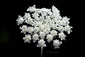 Queen Annes Lace by StephGabler