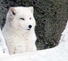 Arctic Fox Portrait I by OrangeRoom