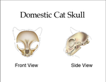 Cat Skull by Ashcaleena