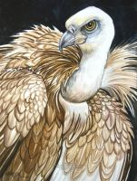 Griffon Vulture 2 by HouseofChabrier
