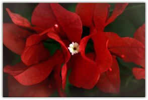 Florida Christmas Flower by chalutplease