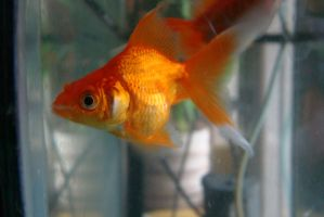 Gold fish 5 by Panopticon-Stock