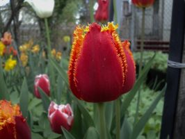 fire and gold tulip beauty of nature by analovecatdog