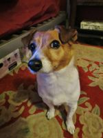 Jack Russell Terrier by Oddity-1991