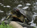 Yellow-bellied Turtle by animalphotos