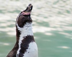 Humboldt Penguin by Yslen