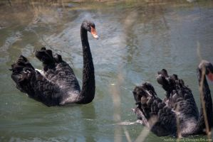 Black Swan : 10 by taeliac-stock