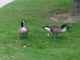 canadageese2 by kyupol