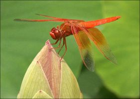 RED DRAGONFLY by THOM-B-FOTO
