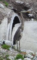 Heron4 by misducky