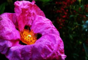 Pink Cistus by graphic-rusty