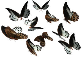 Marble Swallowtail butterflies by madetobeunique