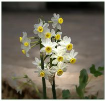 Narcissus by gors