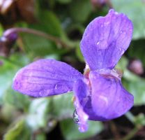 Wet Tiny Viola - macro by JocelyneR