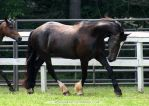friesian x clydesdale mare 2 by venomxbaby