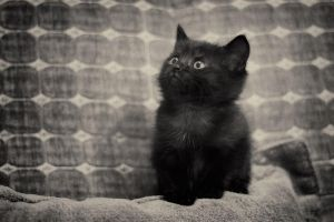 Black kitten by Sebostian