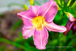 Purple Lily 0933 by TommyPropest-Candler